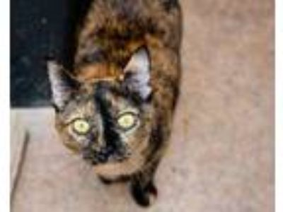 Adopt Bebe a All Black Domestic Shorthair / Domestic Shorthair / Mixed cat in