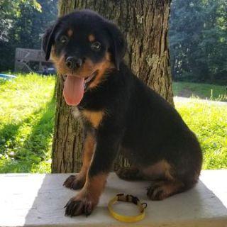 Rottweiler PUPPY FOR SALE ADN-83551 - Champion Sired European Import Litter