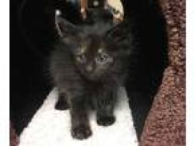 Adopt Anastasia a All Black Domestic Longhair / Domestic Shorthair / Mixed cat