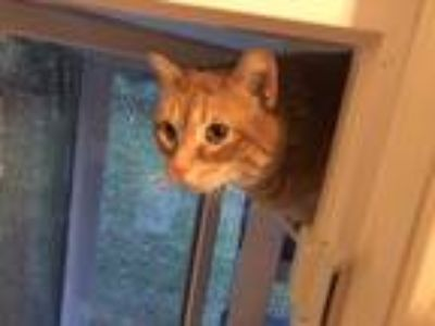 Adopt Huckle a Orange or Red Domestic Shorthair (short coat) cat in Victor