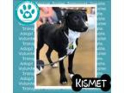 Adopt Kismet a Black - with White Shepherd (Unknown Type) / Mixed dog in