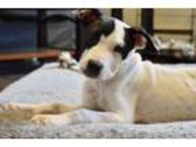 Adopt Buster a Terrier, Boxer