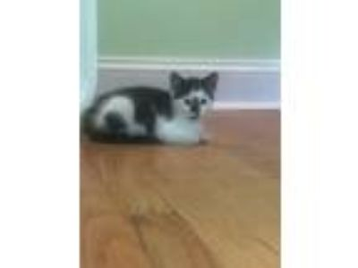 Adopt Storm (Foster Care) a Domestic Short Hair