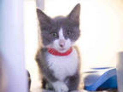 Adopt ALICE a Gray or Blue (Mostly) Domestic Shorthair / Mixed (short coat) cat