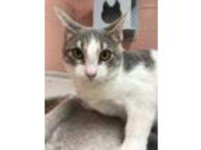 Adopt Wren a Domestic Short Hair