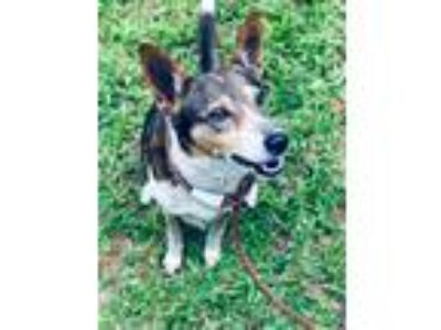 Adopt Freckles a Rat Terrier, Shetland Sheepdog / Sheltie