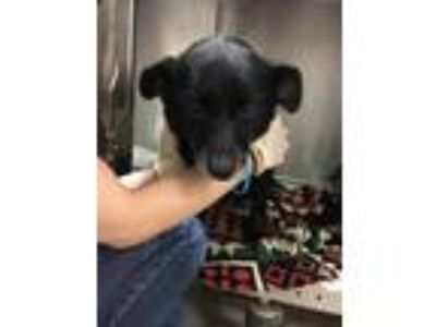 Adopt EZ Pass a Black Beagle / Terrier (Unknown Type, Small) / Mixed dog in