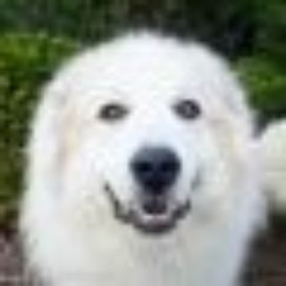 Bear Great Pyrenees Dog