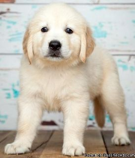 Pure Bred Full Pedigree Golden Retriever Pups