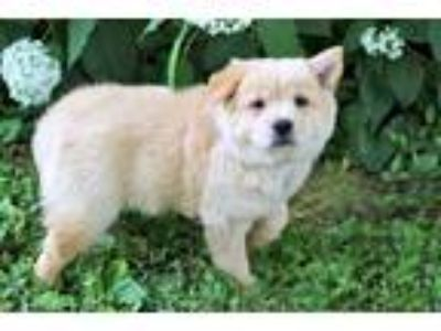 Adopt PUPPY DONNA a Tan/Yellow/Fawn Chow Chow / Spitz (Unknown Type