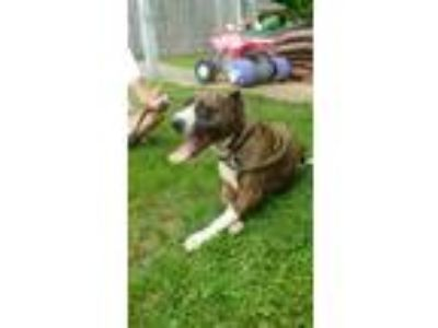 Adopt Grace TN a Brindle - with White Boxer / American Staffordshire Terrier /