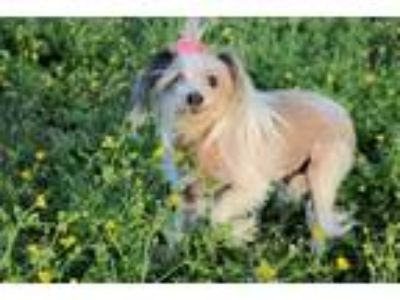 Adopt Little Bit a Chinese Crested Dog