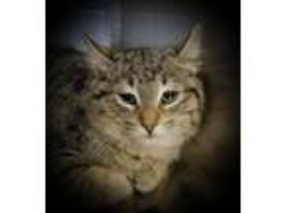 Adopt Bug a Domestic Shorthair / Mixed cat in Sheboygan, WI (24311998)