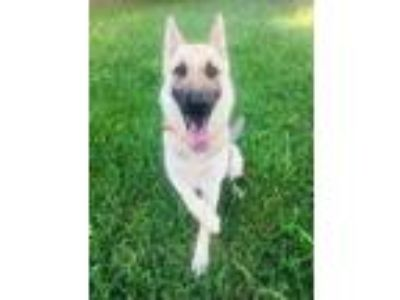 Adopt Hans, Friendly and Handsome! a German Shepherd Dog