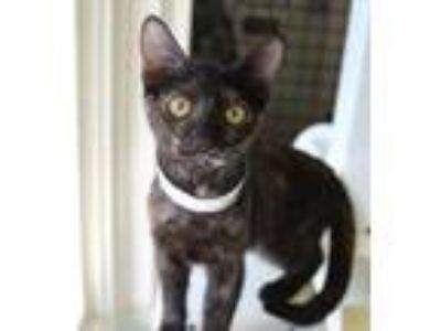 Adopt Wattson a All Black Domestic Shorthair / Domestic Shorthair / Mixed cat in