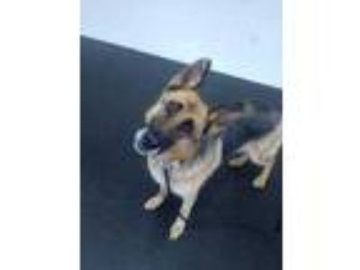 Adopt ROSIE a Tan/Yellow/Fawn German Shepherd Dog / Mixed dog in Tangent