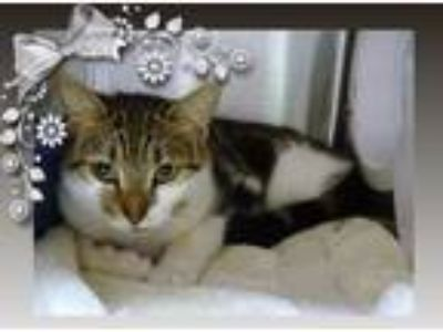 Adopt CALLISTA see also HARRISON a Brown Tabby Domestic Shorthair (short coat)