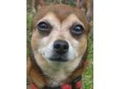 Adopt Stitch a Brown/Chocolate Mixed Breed (Small) / Mixed dog in Blackwood
