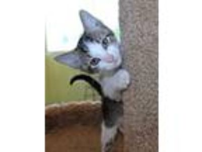 Adopt Peter Quill a White Domestic Shorthair / Domestic Shorthair / Mixed cat in