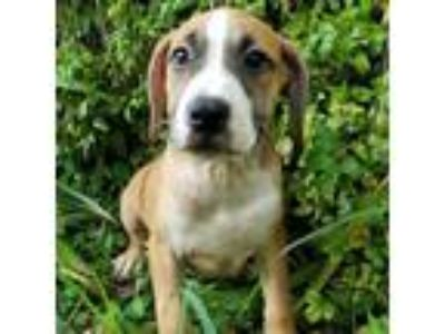 Adopt Doctor House a Brown/Chocolate Boxer / Pit Bull Terrier dog in