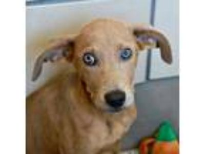 Adopt Moe a Tan/Yellow/Fawn Hound (Unknown Type) / Mixed dog in Alpharetta