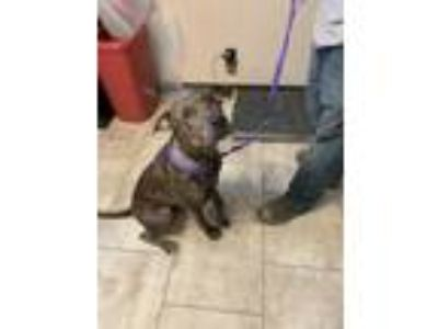 Adopt Albert a Brown/Chocolate Mixed Breed (Large) / Mixed dog in St.