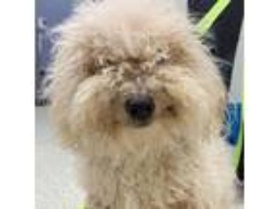 Adopt Fluffy PA a White - with Tan, Yellow or Fawn Mixed Breed (Medium) dog in