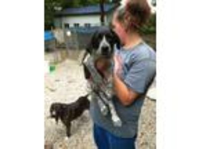 Adopt Frodo a Labrador Retriever, Pointer