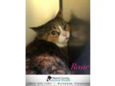 Adopt Rosie a Tabby, Calico
