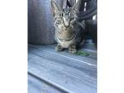 Adopt CLOVER a Tabby, Domestic Short Hair