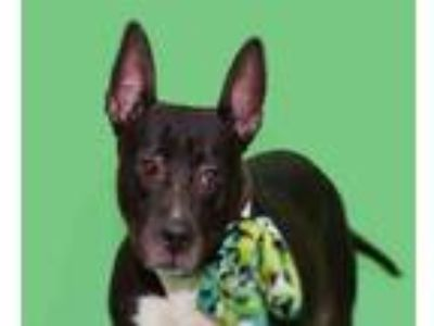Adopt TINKERBELL a American Staffordshire Terrier