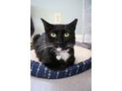 Adopt Dee Dee a Domestic Short Hair