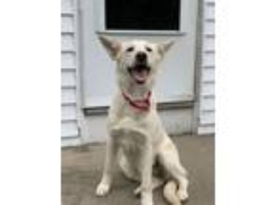 Adopt Belka CC CP in RI a Border Collie, Husky