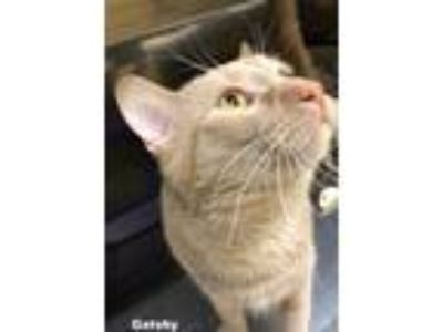 Adopt GATSBY a Orange or Red Tabby Domestic Shorthair (short coat) cat in