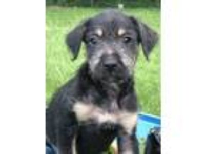 Adopt Chevy a Black - with Tan, Yellow or Fawn Poodle (Standard) / Black Mouth