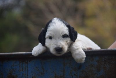 Pyredoodle PUPPY FOR SALE ADN-92730 - F1 Pyredoodles