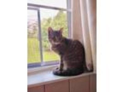 Adopt Felicity a Domestic Short Hair