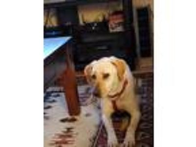 Adopt Ilya a Tan/Yellow/Fawn Labrador Retriever / Mixed dog in Evergreen