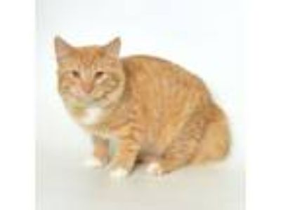 Adopt Pekin a Domestic Medium Hair