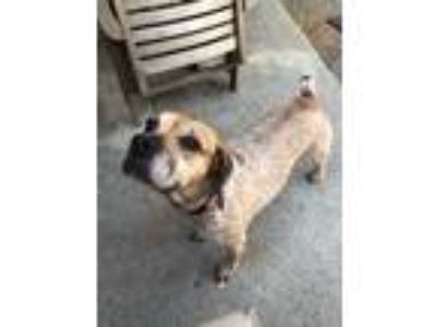 Adopt coco a Tan/Yellow/Fawn Beagle / Cattle Dog / Mixed dog in Rancho