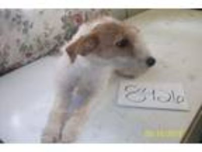Adopt 8426 a Wirehaired Terrier