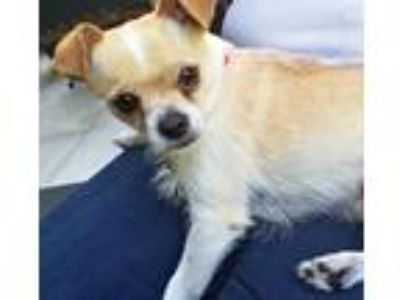 Adopt Biscuit a White - with Tan, Yellow or Fawn Terrier (Unknown Type