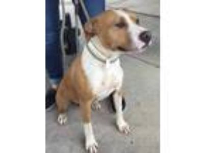 Adopt Evie a Brown/Chocolate American Pit Bull Terrier / Mixed dog in