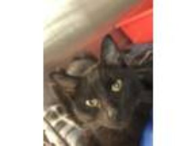Adopt Ronda a All Black Domestic Shorthair / Domestic Shorthair / Mixed cat in