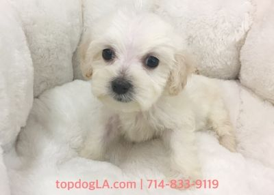 Maltipoo PUPPY FOR SALE ADN-78653 - Maltipoo female Josie