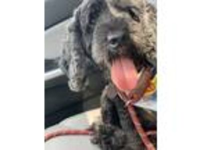 Adopt Blitzen a Black Cocker Spaniel / Mixed dog in Philadelphia, PA (25925677)