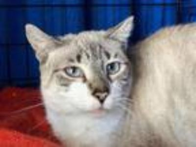 Adopt Valerie ( Courtesy Posting ) a Siamese / Mixed (short coat) cat in