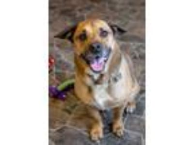 Adopt Beethoven a German Shepherd Dog