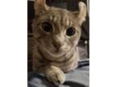 Adopt Mouse a American Curl, Domestic Short Hair