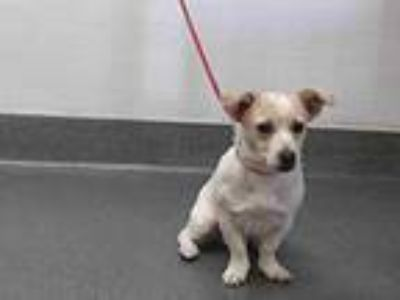 Adopt 20-00696 a Jack Russell Terrier
